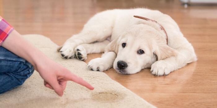 Jak vyčistit počůraný koberec